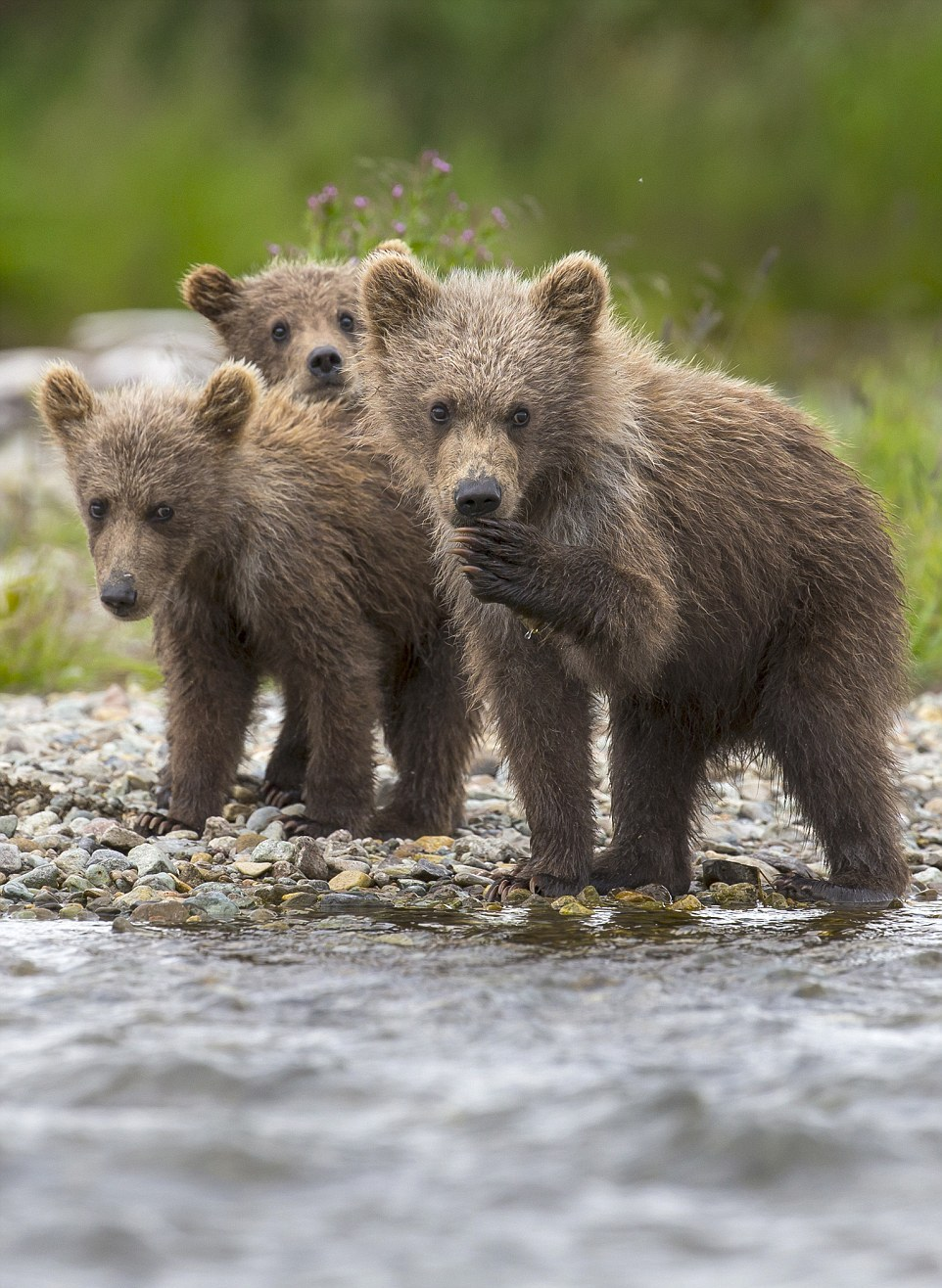 mama-bear-catches-a-salmon-to-feed-her-cubs-15