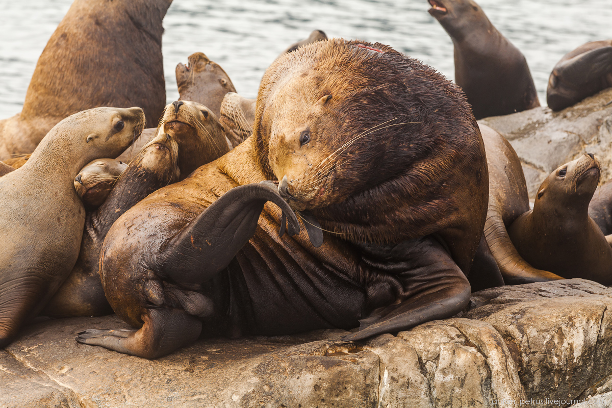 of-the-pacific-ocean-sea-lions-19