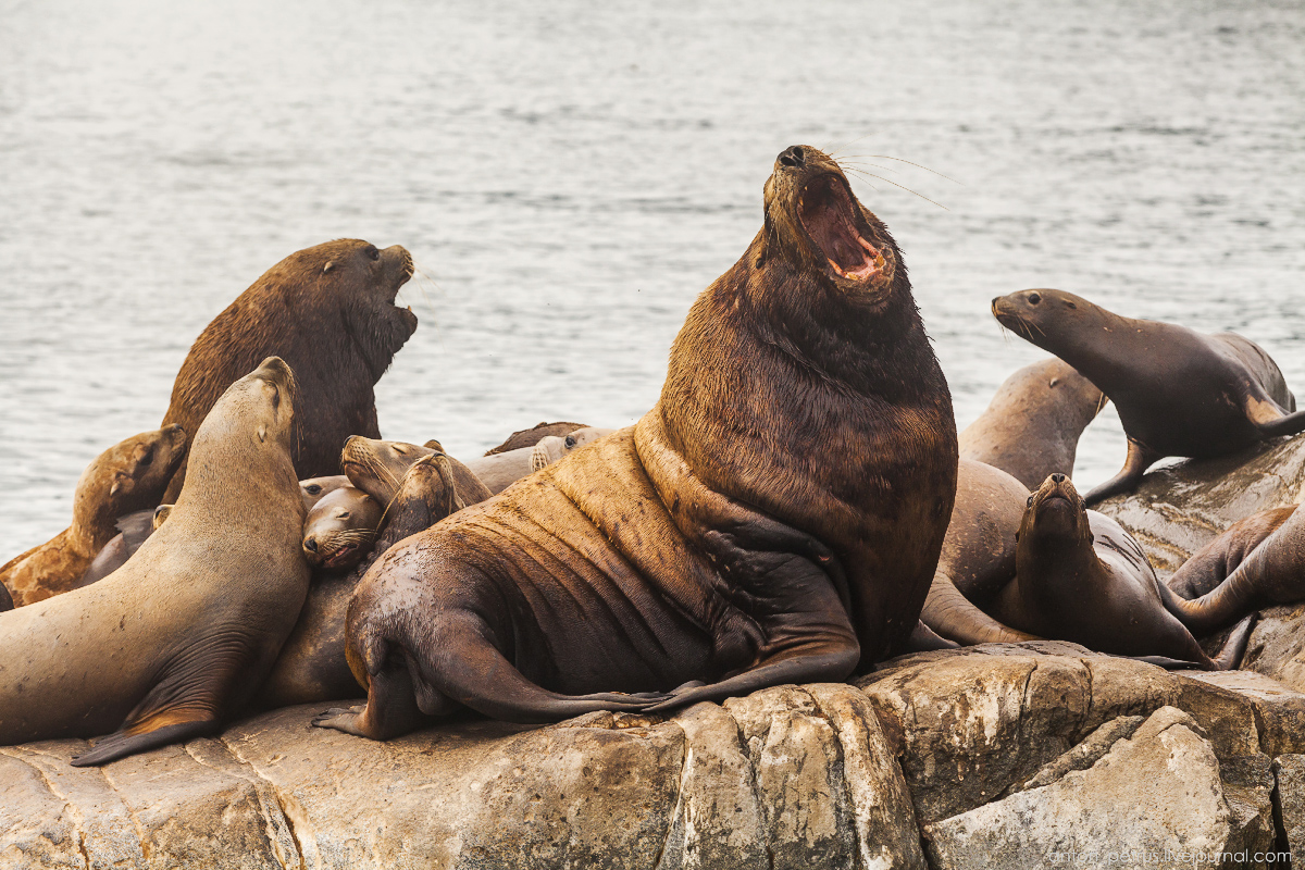 of-the-pacific-ocean-sea-lions-20