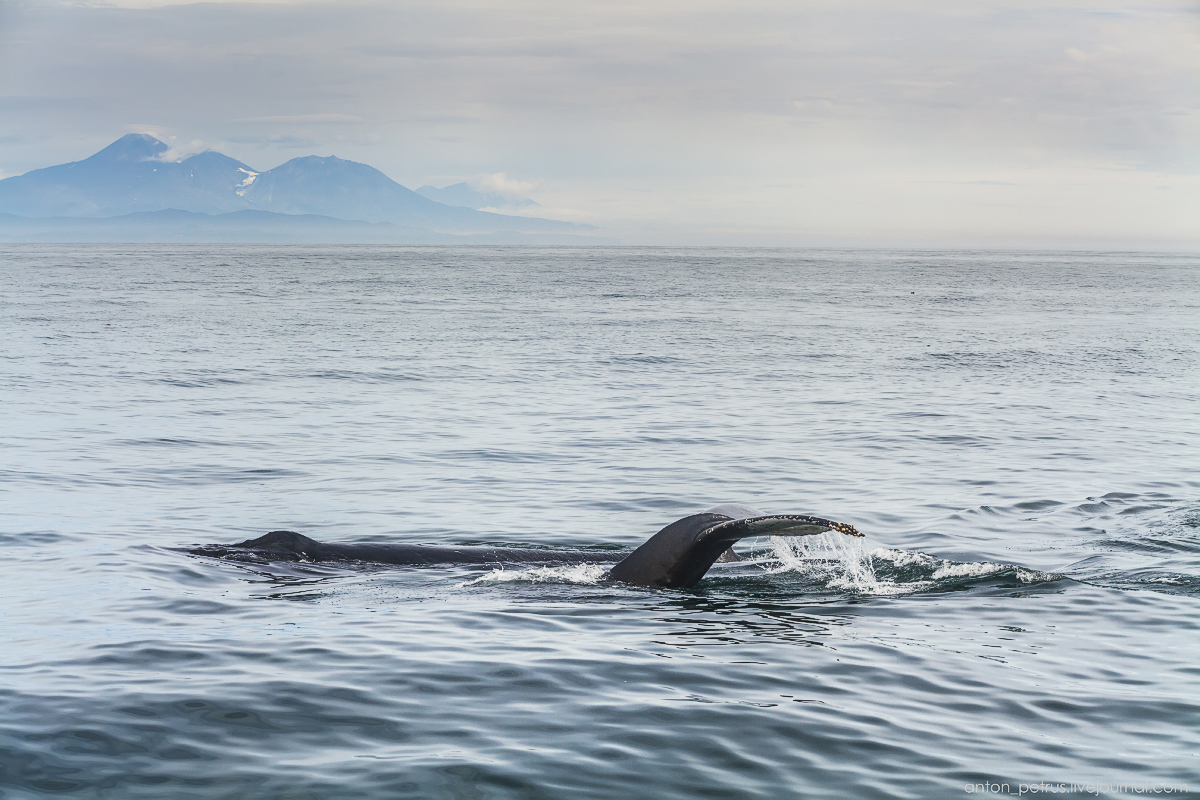 of-the-pacific-ocean-whales-and-their-enemies-07