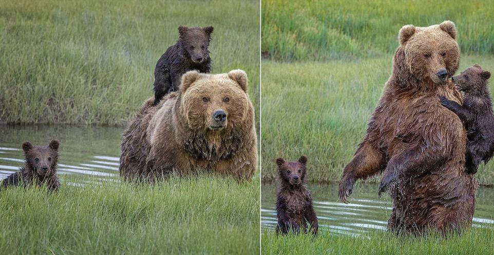 Трогательный момент: мама-медведица перенесла маленького медвежонка через реку