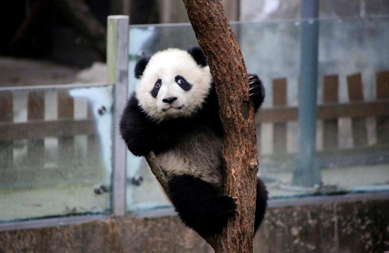 Милые медвежата Панды