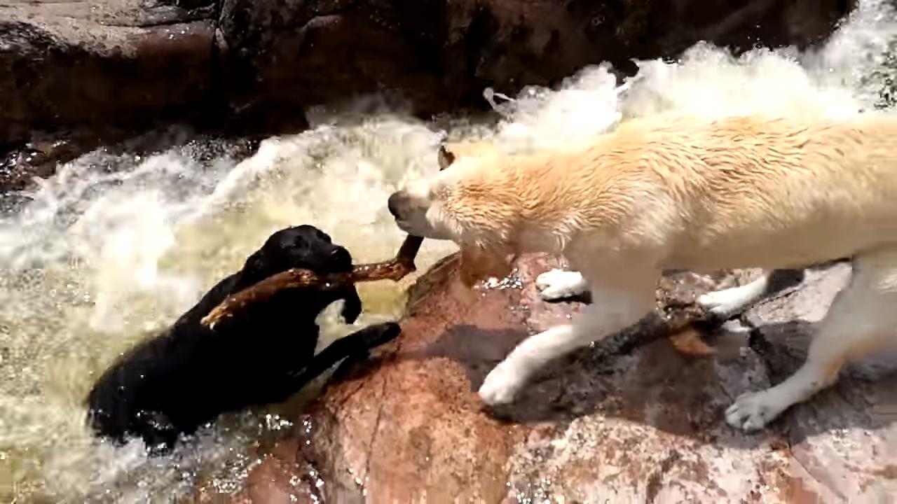 Пес вытащил своего собрата из бурного потока реки