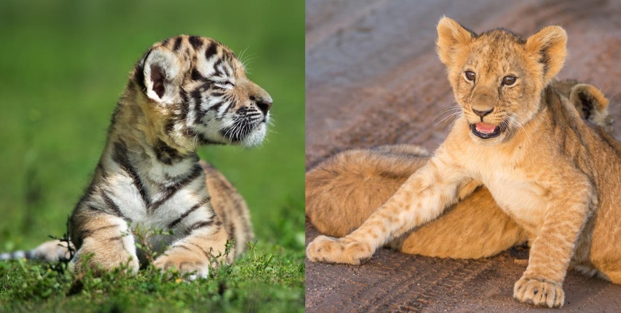 Животные одиночные и всеядные, что позволяет им не тратить время и силы на охоту, а спокойно питаться растительной пищей.