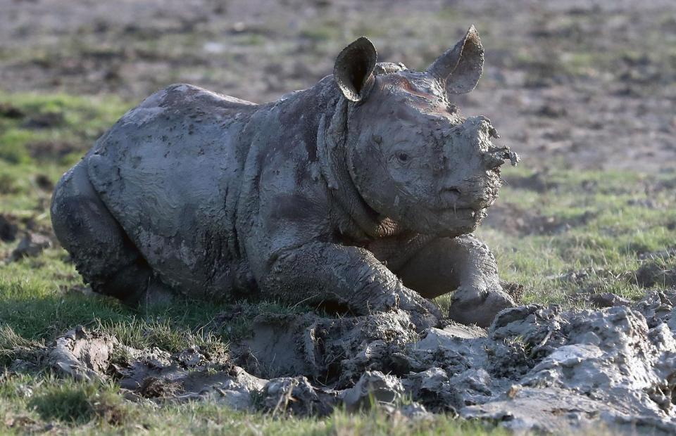 Детеныш носорога впервые порезвился в грязи