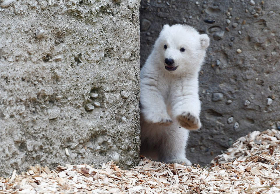 Первая прогулка белого медвежонка в зоопарке Германии