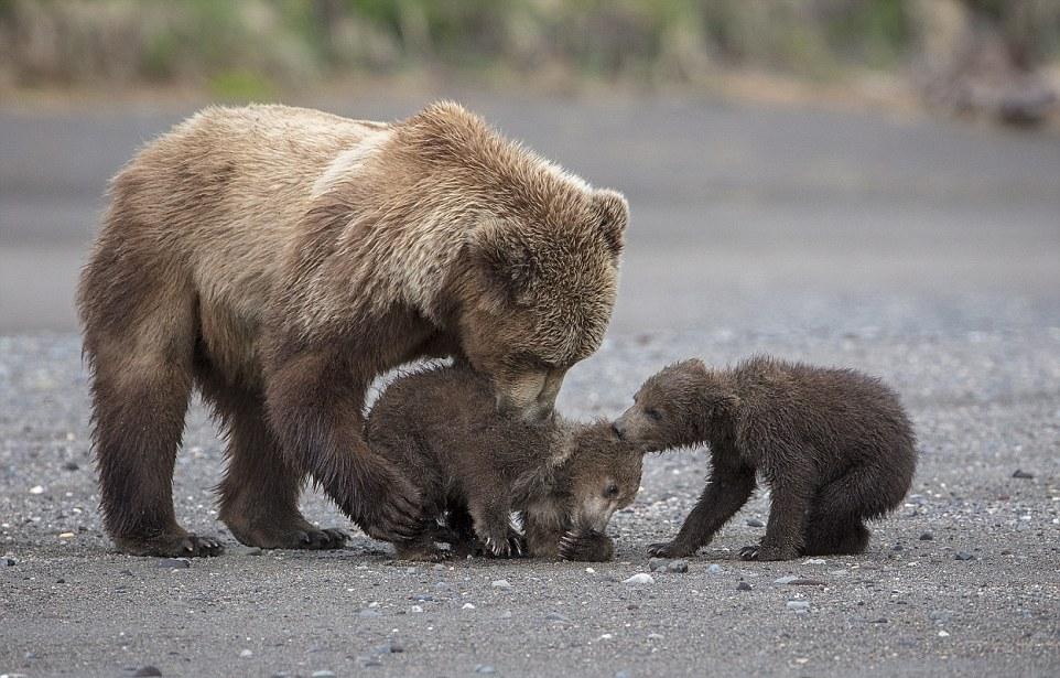 Мама-медведица играет со своими малышами