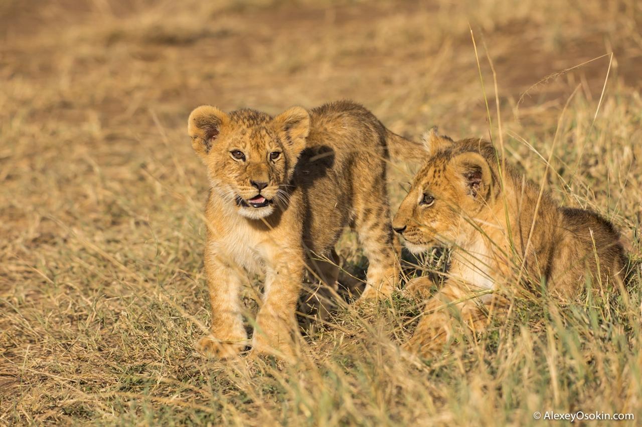 Один львиный прайдик