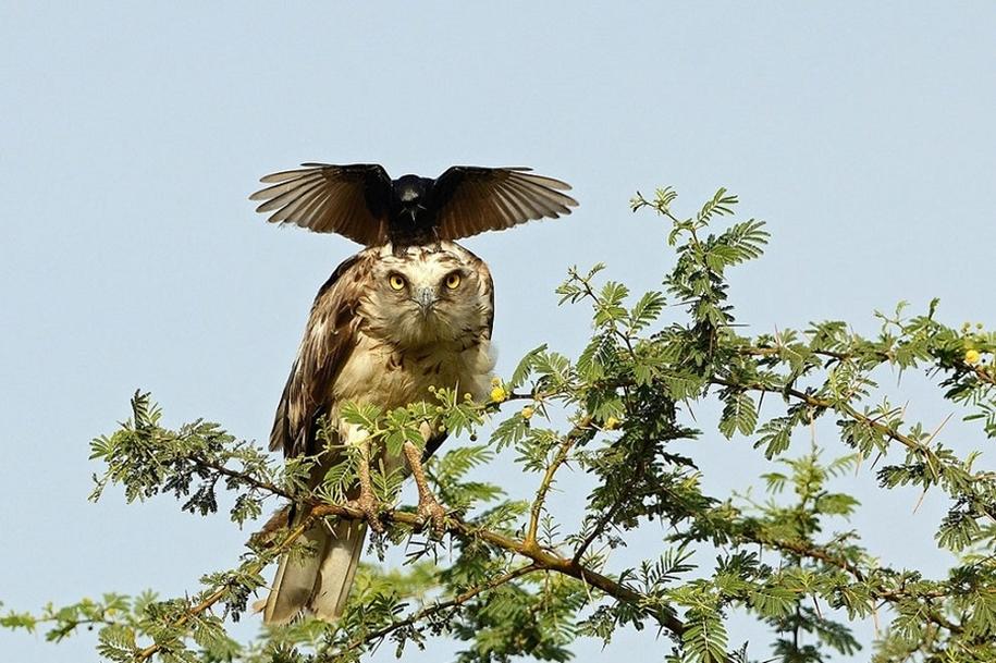 Ворона-мама атаковала орла, защищая свое гнездо