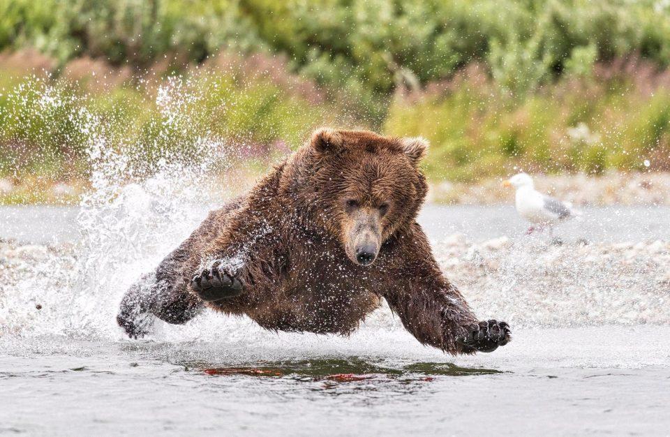 Потрясающий полет медведя во время охоты на лосося