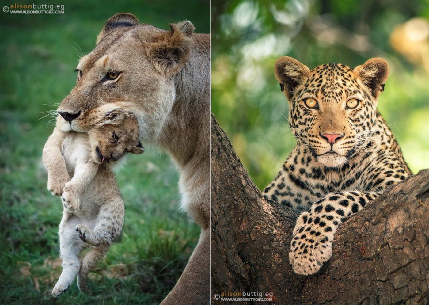 Потрясающие портреты диких кошек от Элисон Баттигиг