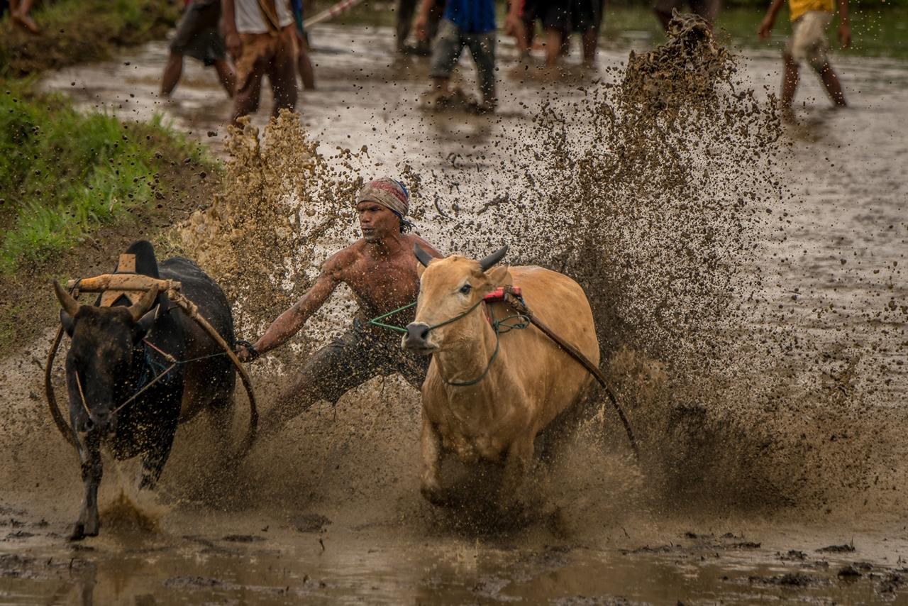 Традиционные гонки на быках в Индонезии