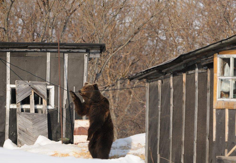 Зачем медведи встают на задние лапы?