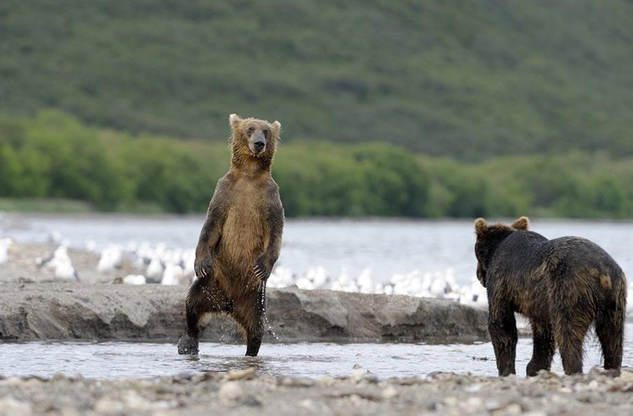 Попал в лапы к медведю