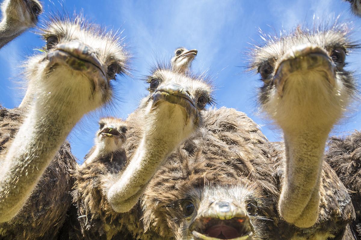 Африканский страус — самая крупная птица