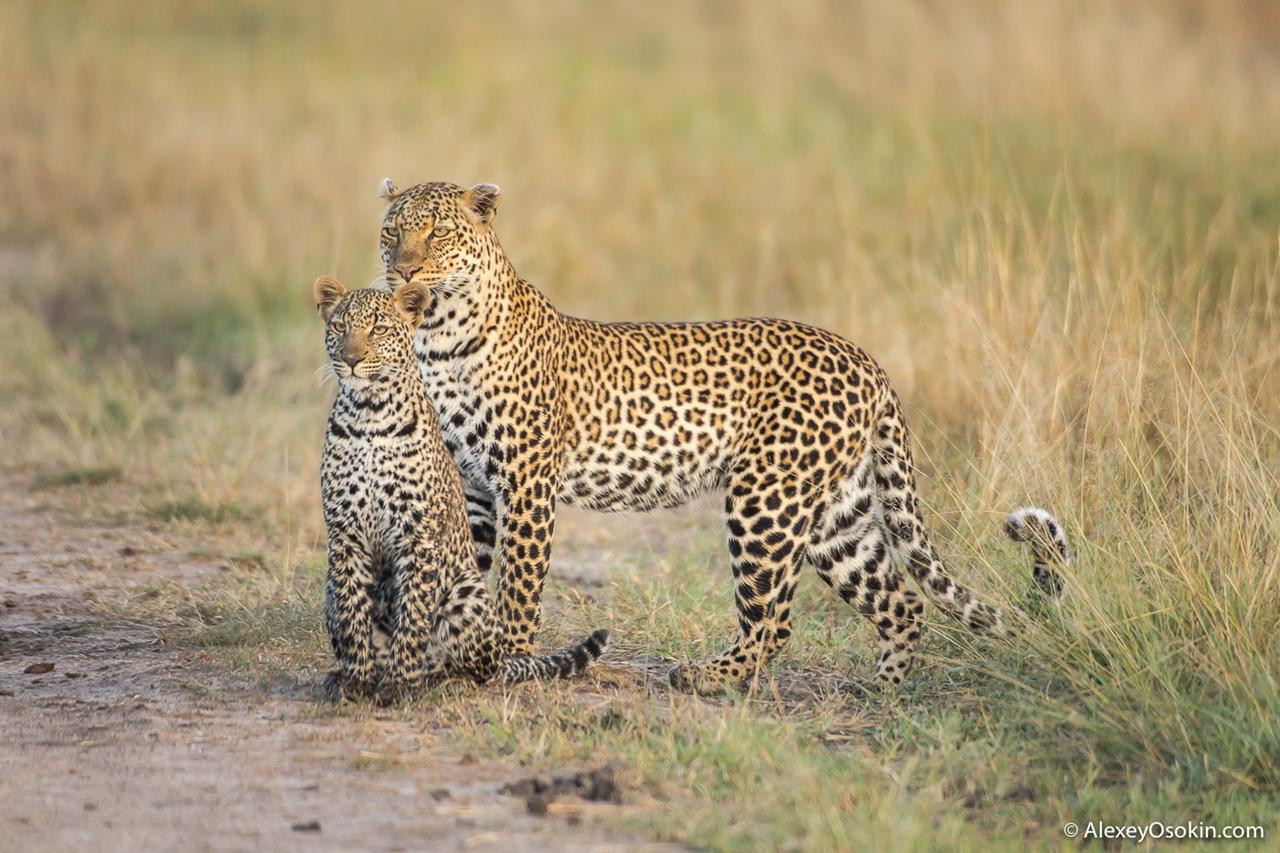 Все подвиды леопарда