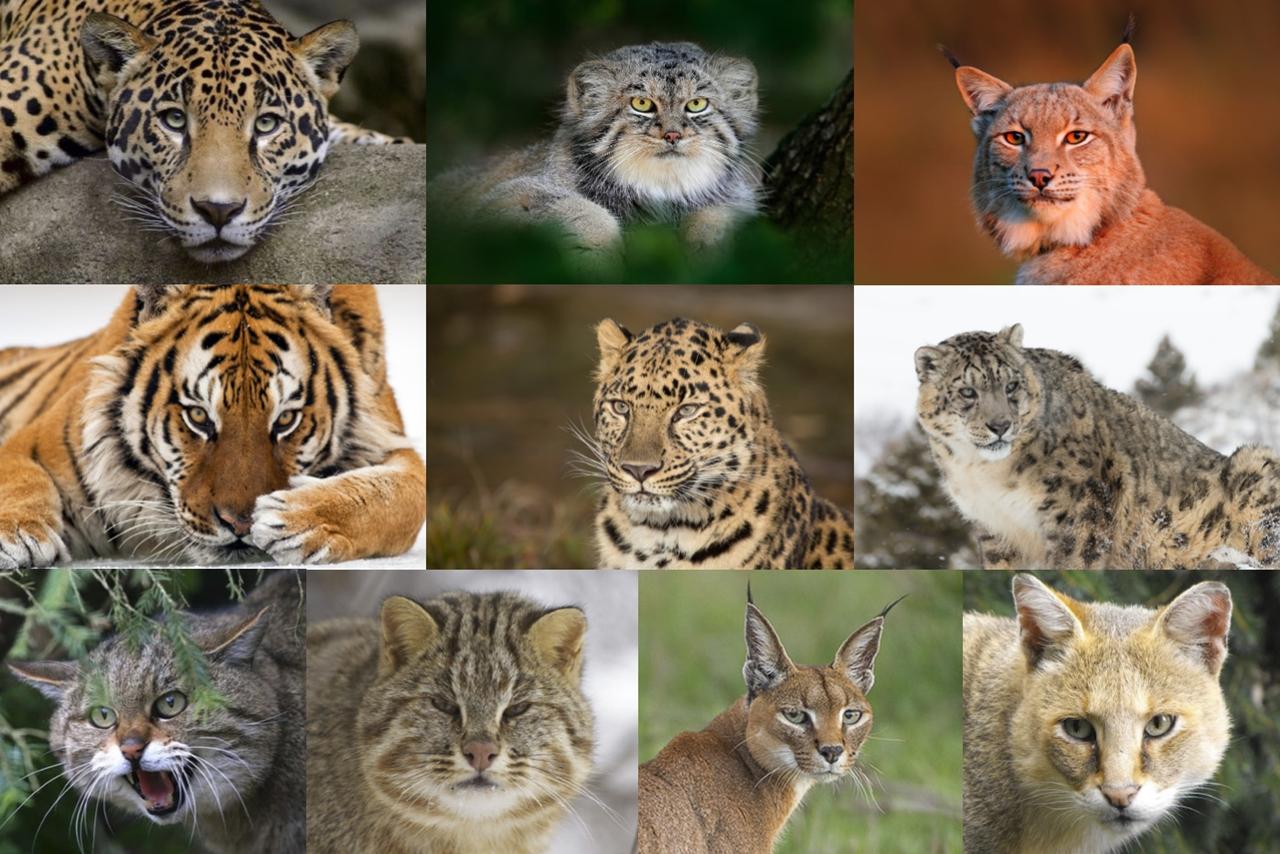 Все дикие кошки России