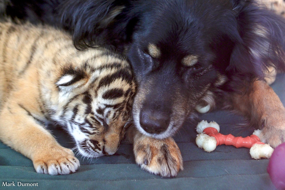 В зоопарке Цинциннати овчарка стала мамой для редких малайских тигрят