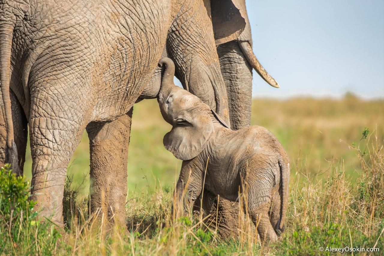 Грудной слоненок. Милее нет создания!