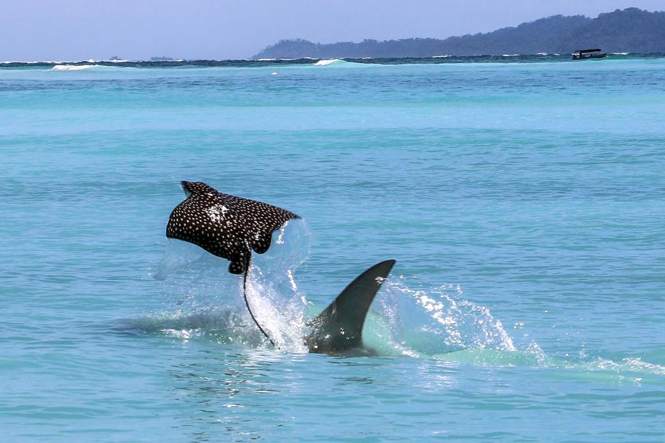 Спасительный полет ската от зубов акулы