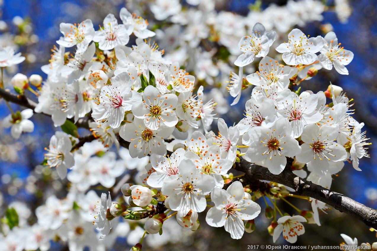 Весна в Крыму. Алыча
