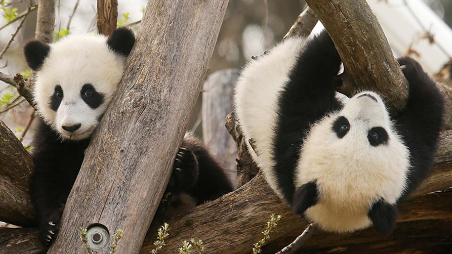 Детёныши большой панды беззаботно играют в венском зоопарке