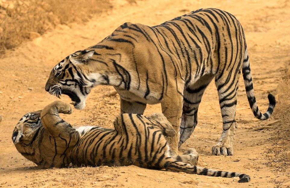 Тигрица провела воспитательную работу с тигренком