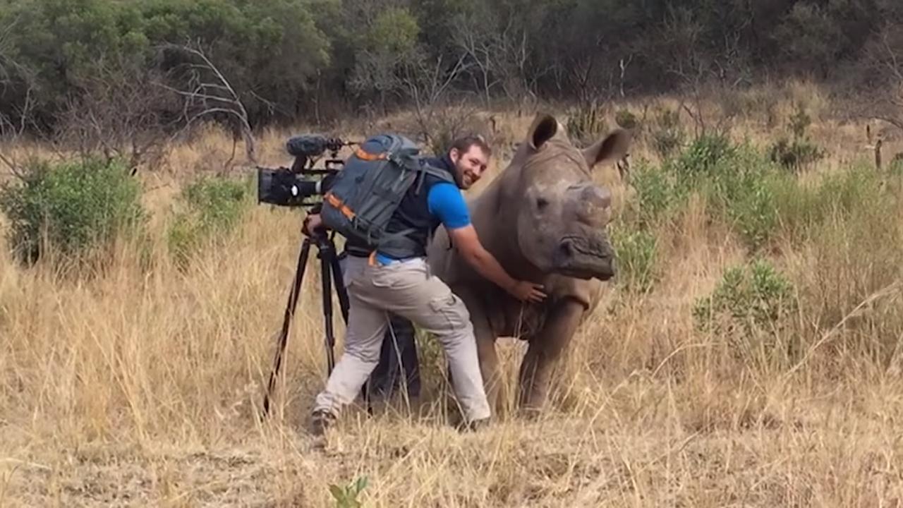 Дикий носорог подошел к человеку за порцией ласки