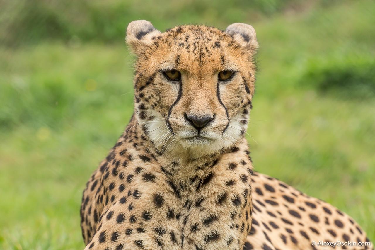10+ интересных фактов о гепардах