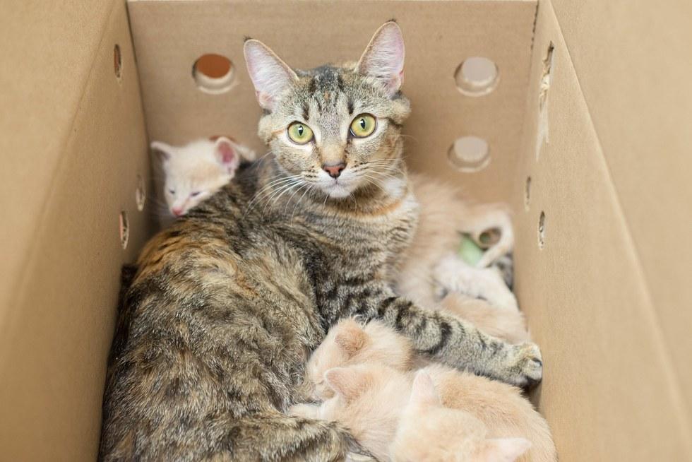 Полосатая кошечка «мать-героиня» взяла под опеку 14 котят