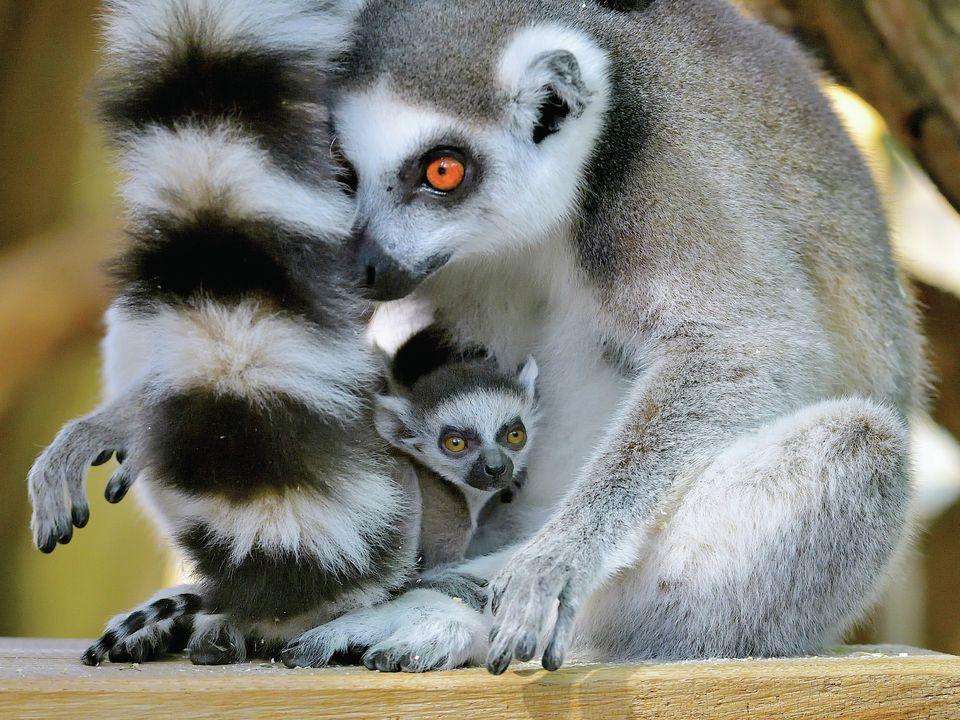 Зоопарк Вены показал первые фото и видео с детенышами-близнецами кошачьего лемура