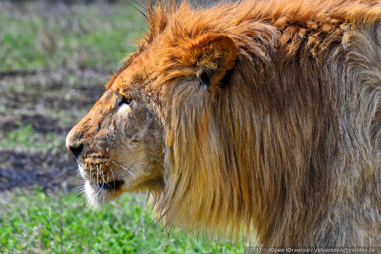 Львы снова обрели свободу: в парке «Тайган» состоялся выпуск львов в большой вольер