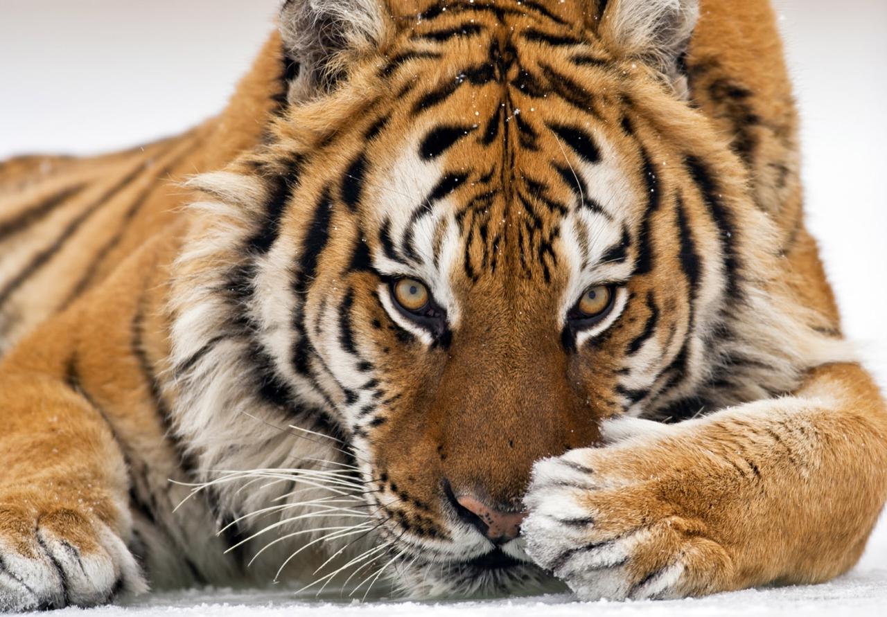 Тигр — символ России? Все подвиды самой красивой кошки