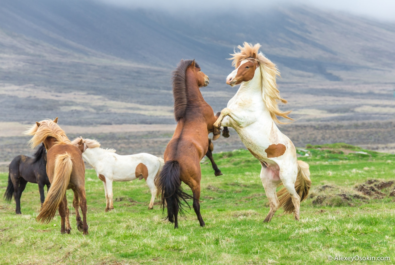 Исландские красавицы