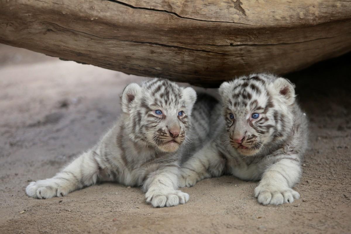 В мексиканском зоопарке на свет появились два белых тигренка