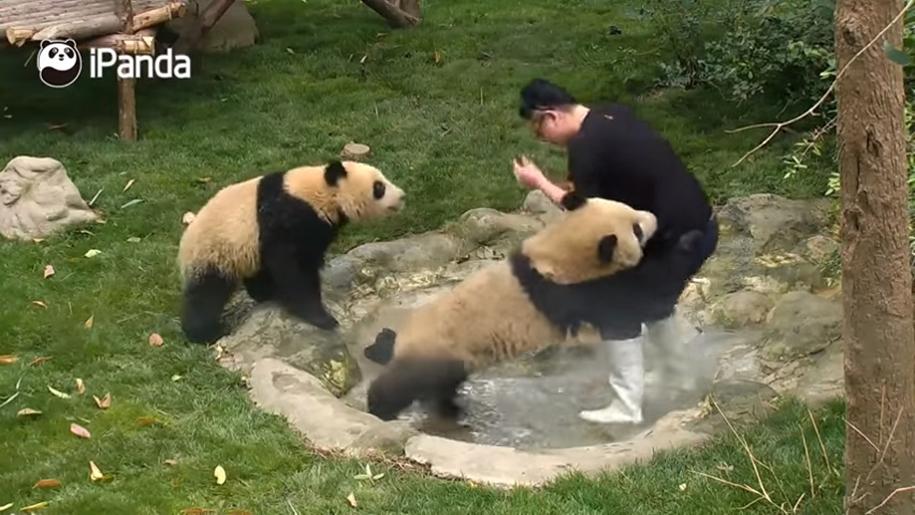 Не простая это работа, быть смотрителем панд-мишек