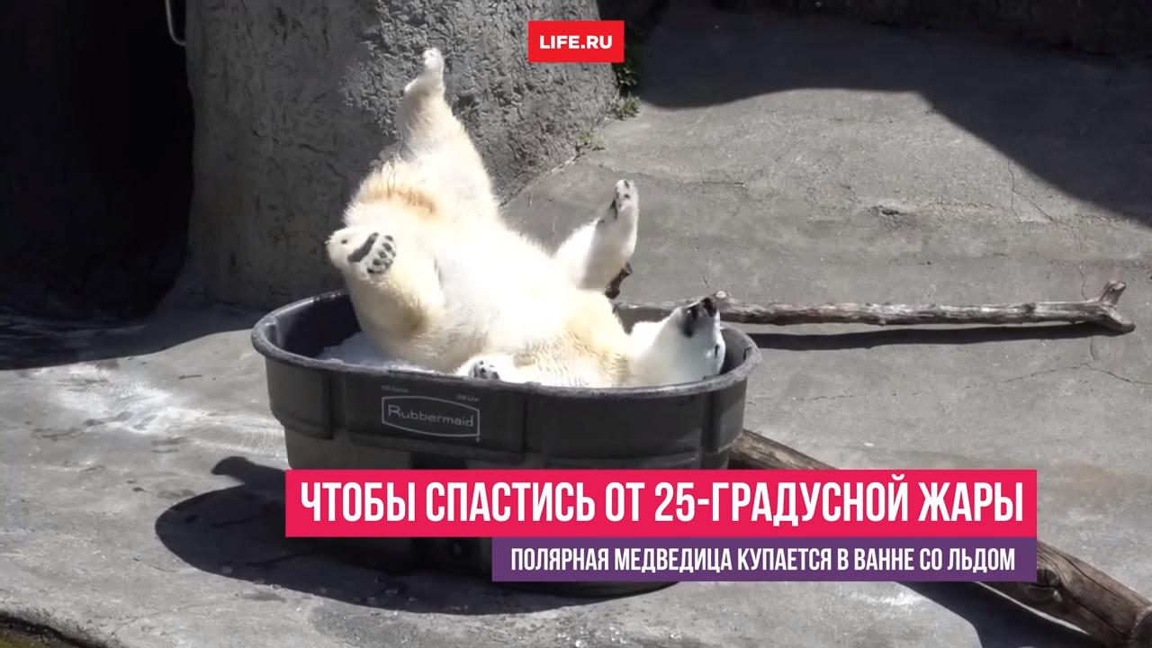 Полярная медведица принимает ванну со льдом