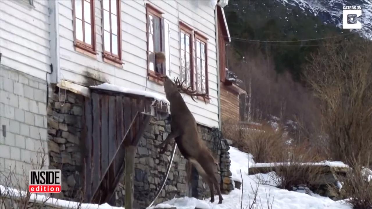 Норвежская пенсионерка подружилась с диким оленем
