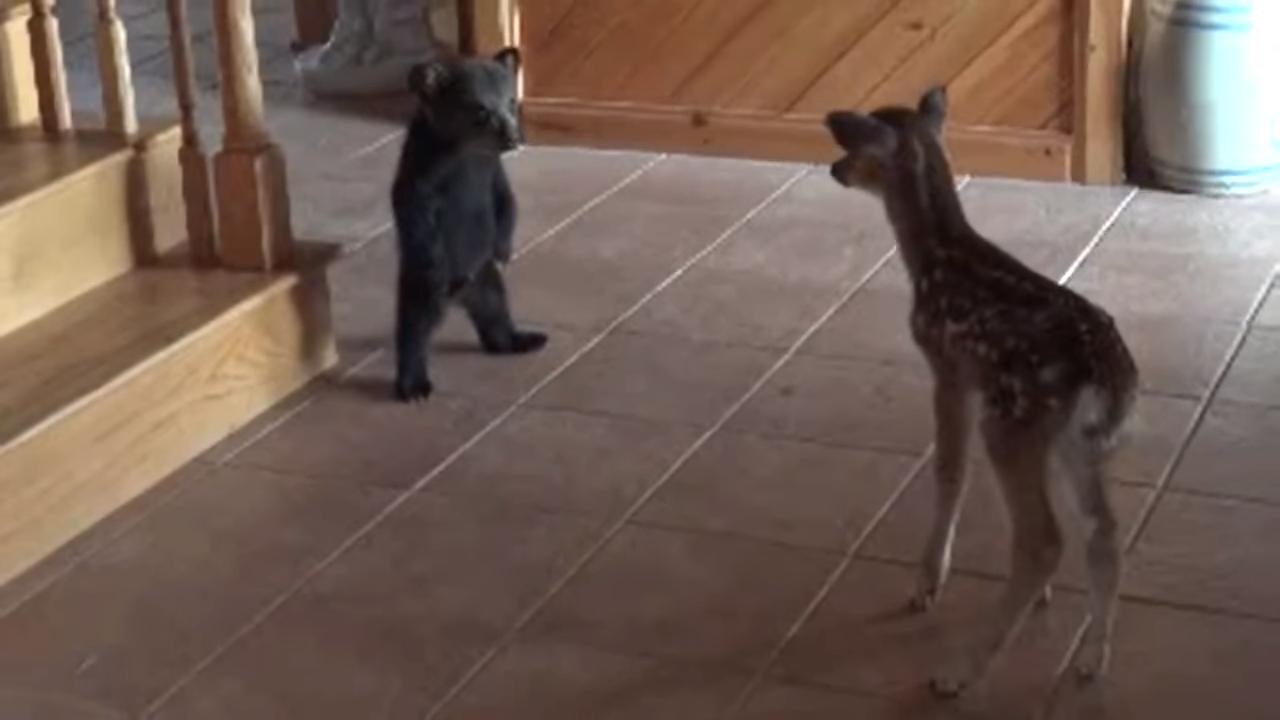 Медвежонок и олененок впервые увидели друг друга