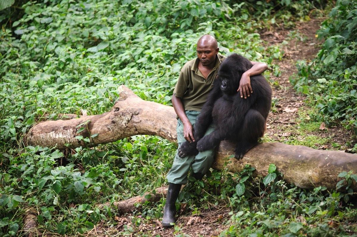 Работник заповедника утешает осиротевшую гориллу