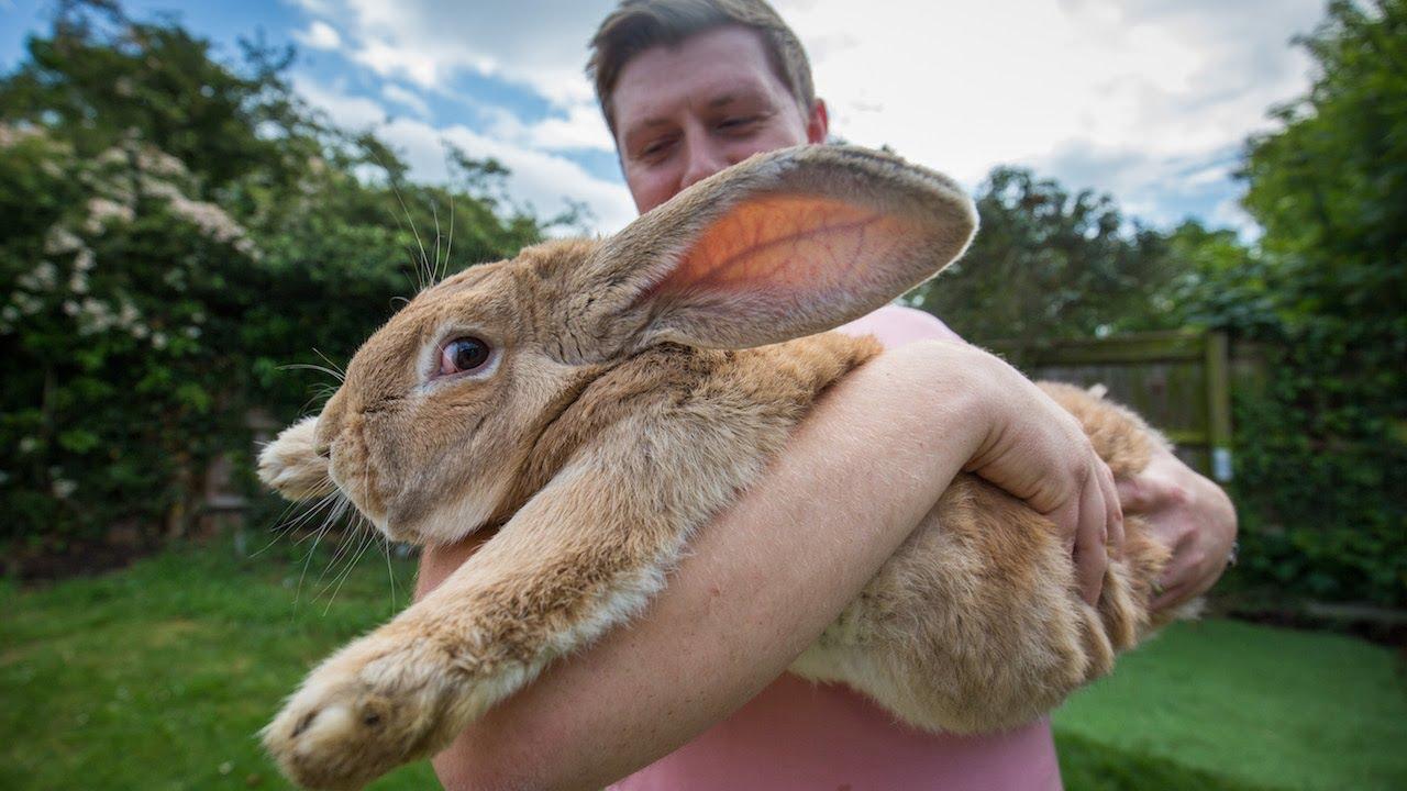 Детеныш самого крупного кролика в мире может перерасти отца