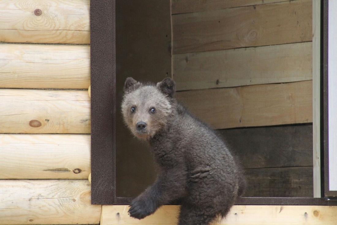 Девушка проехала 4000 километров ради спасения медвежонка