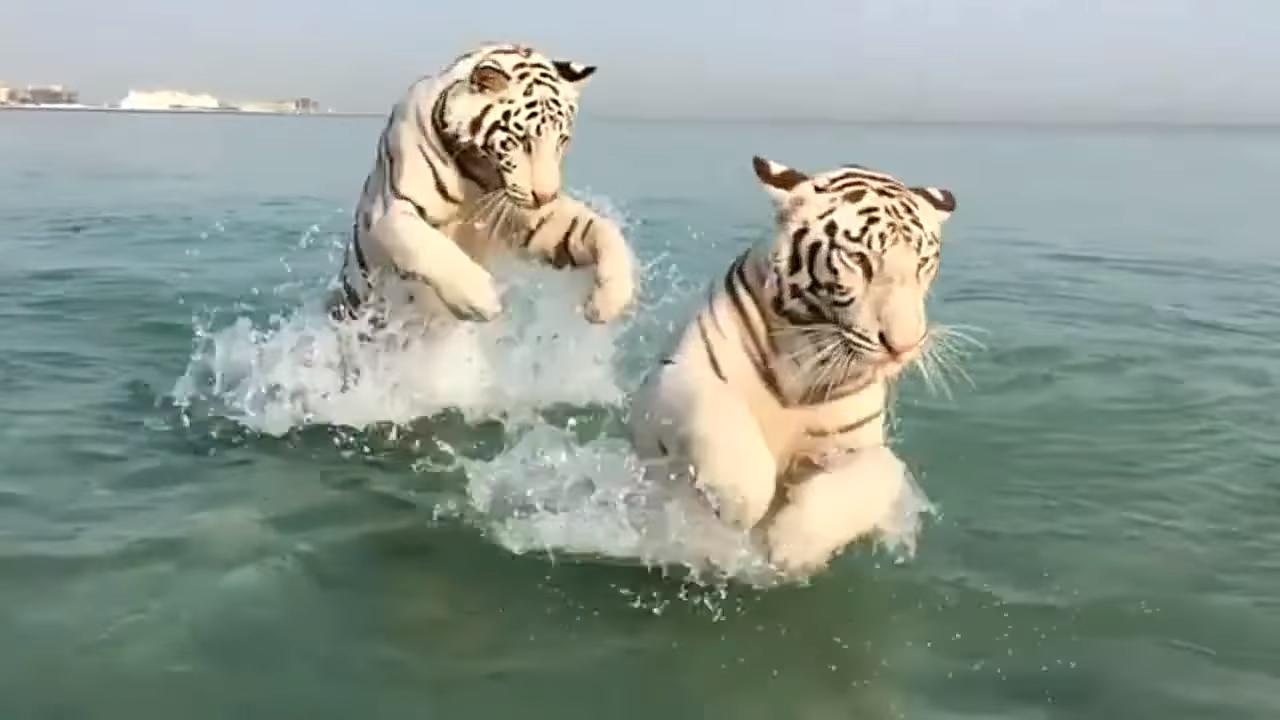 Тигры тоже любят море: счастливые кошки резвятся на пляже