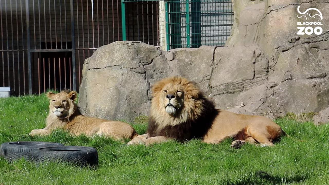 Удивительная история: лев-папа в одиночку принялся растить львенка