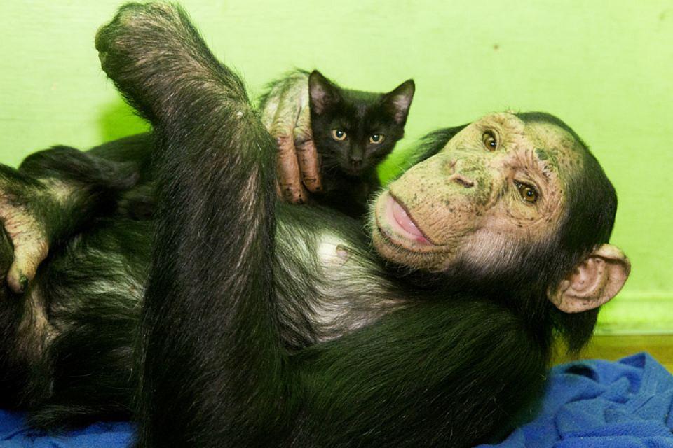 Шимпанзе принцесса Леа усыновила второго котенка