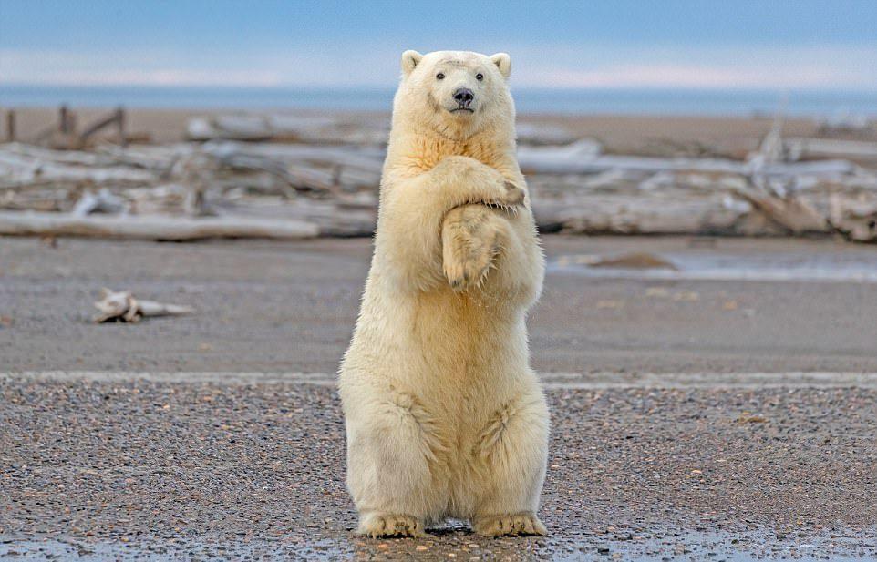 Танец «Макарена» в исполнении белого медведя