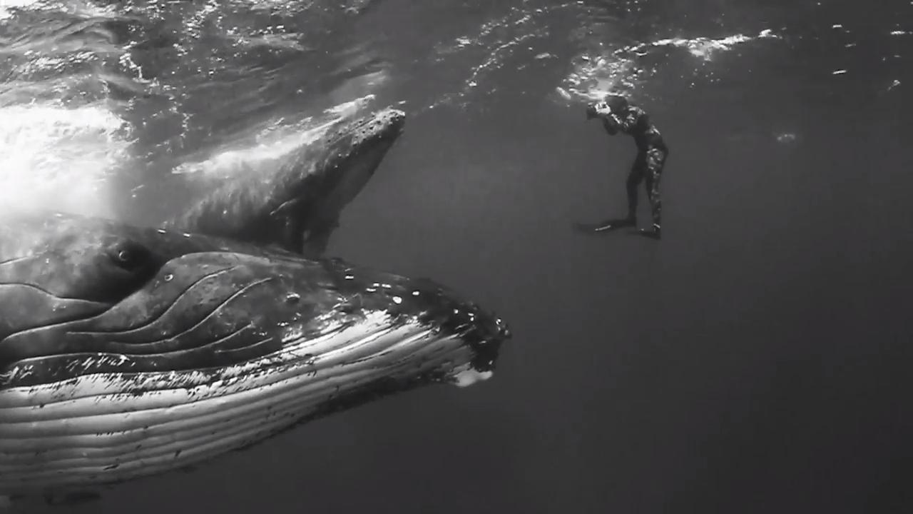 «Гиганты»: завораживающее видео о горбатых китах в миграции