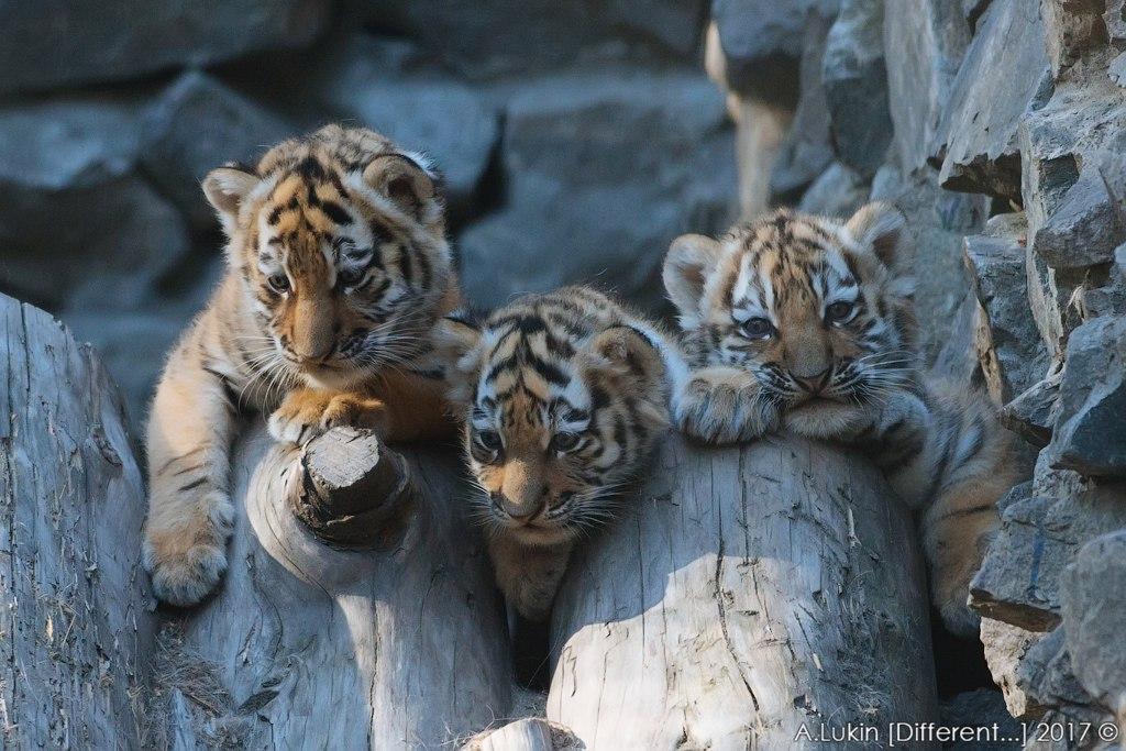 В Новосибирском зоопарке появились на свет три амурских тигренка