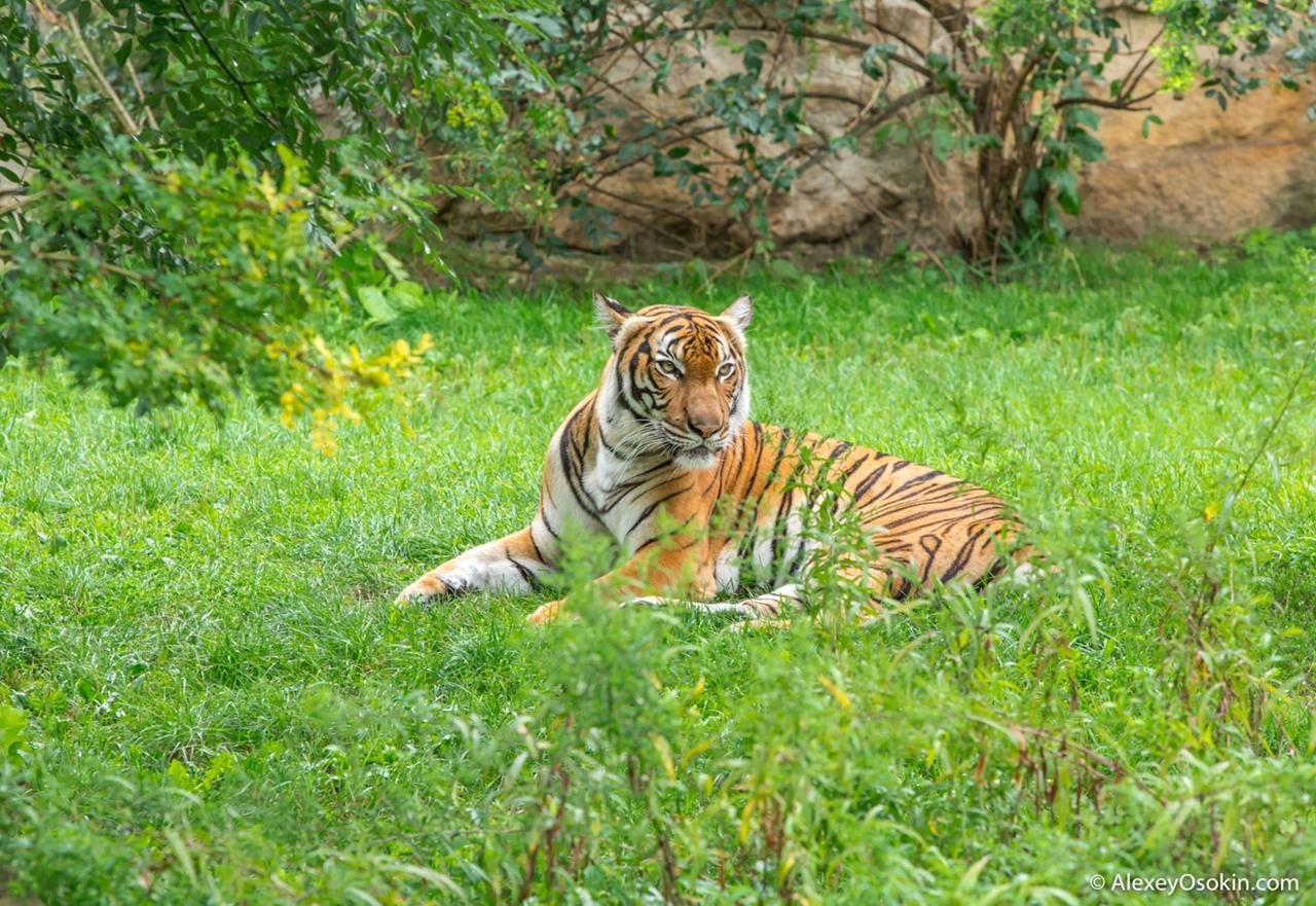 Невероятно красивая суматранская тигрица