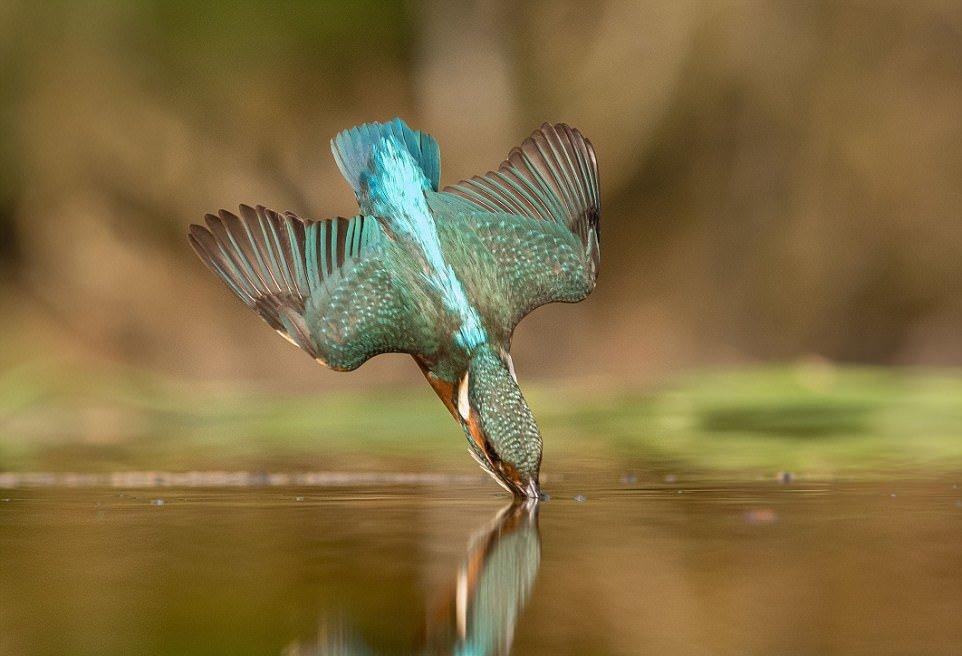 Потрясающие фотографии ныряющего зимородка